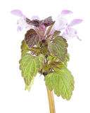 Purple dead-nettle isolated on white background. Medicinal and invasive plant Royalty Free Stock Image