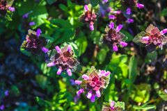 Purple dead nettle Lamium purpureum with green grass in a background. Purple dead nettle Lamium purpureum with green grass in a background royalty free stock photography