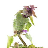 Purple dead-nettle or Lamium purpureum isolated on white background. Medicinal and invasive plant Royalty Free Stock Photo