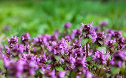 Purple dead nettle Royalty Free Stock Photography