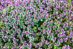 Purple dead nettle Stock Image