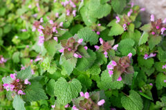 Purple dead nettle plant. Verdant herbaceous weed with pink flowers Stock Photo