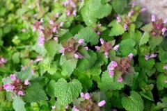 Purple dead nettle plant Stock Photo