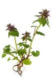Purple Dead Nettle Wildflower Royalty Free Stock Photography