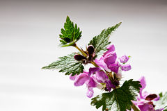 Purple deadnettle on bright background Royalty Free Stock Photos