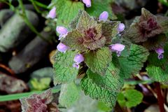 Purple Deadnettle with Purple Florets. Maroon Deadnettle alternating pyramid shaped leaves with tiny purple Florets Royalty Free Stock Photo