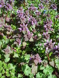 Lamium purpureum (purple deadnettle). The purple deadnettle, purple archangel, or velikdenche (Lamium purpureum) is a herbaceous weed native to Europe and Asia Royalty Free Stock Image