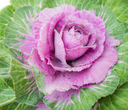 Purple decorative cabbage Stock Photo