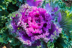 Purple decorative cabbage. Stock Photography