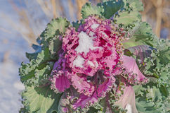 Purple decorative cabbage in garden in winter Royalty Free Stock Photos