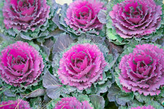Purple decorative cabbage Royalty Free Stock Photography