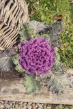 Purple decorative cabbage. Top view of a purple decorative cabbage in a basket in the garden Royalty Free Stock Images