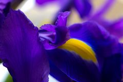 Purple delicate iris petals, bright flower background stock images