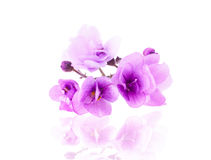 Purple Delicate Violet Flower Royalty Free Stock Photos