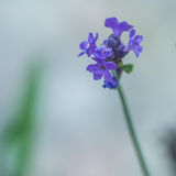 Purple Delicates Royalty Free Stock Images