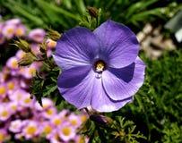Purple delight Lilac Hibiscus, Alyogyne huegelii 'Monle' Stock Image