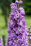 Purple Delphinium Flower Royalty Free Stock Photo