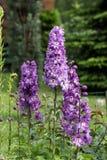 Purple Delphinium Flower Stock Photo