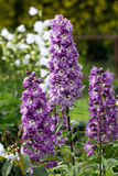 Purple Delphinium Flower Royalty Free Stock Photography