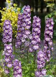 Purple Delphinium Flower Stock Photos