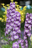 Purple Delphinium Flower Stock Image