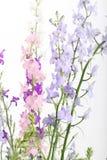 Purple  Delphinium flowers Stock Photo