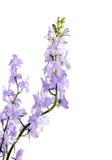 Purple  Delphinium Stock Photos