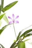 Purple dendrobium flower Stock Photos
