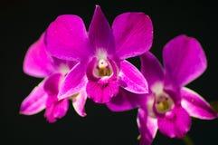 Purple dendrobium orchid Stock Photo