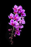 Purple Dendrobium orchid in black background Royalty Free Stock Photography