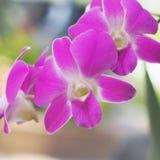 Purple Dendrobium orchid Stock Photos