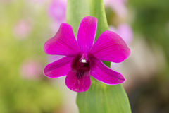 Purple Dendrobium orchid Royalty Free Stock Photos
