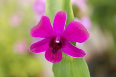 Purple Dendrobium orchid with green leaves Royalty Free Stock Photo