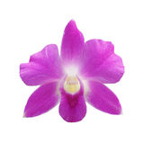 Purple Dendrobium orchid Stock Photography