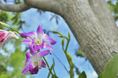 Purple dendrobium. Select focus for purple dendrobium orchid in nature day light Royalty Free Stock Photography