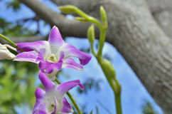 Purple dendrobium. Select focus for purple dendrobium orchid in nature day light Royalty Free Stock Photo