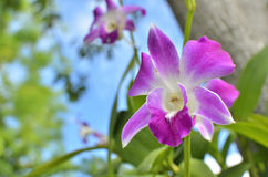 Purple dendrobium. Select focus for purple dendrobium orchid in nature day light Stock Photo