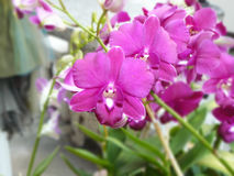 Purple Dendrobium sonia. Beautiful orchid. Purple Dendrobium sonia & x28;Orchidaceae& x29; close up from plant on wooden background stock images
