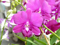 Purple Dendrobium sonia. Beautiful orchid. Purple Dendrobium sonia & x28;Orchidaceae& x29; close up from plant on wooden background royalty free stock image