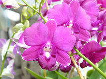 Purple Dendrobium sonia. Beautiful orchid. Purple Dendrobium sonia & x28;Orchidaceae& x29; close up from plant on wooden background Stock Photos