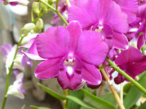 Purple Dendrobium sonia. Beautiful orchid. Purple Dendrobium sonia & x28;Orchidaceae& x29; close up from plant on wooden background Stock Photography