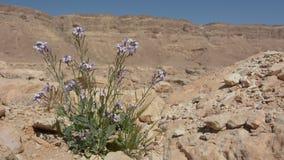 Purple desert flower against Ramon Crater Negev desert , Israel stock video