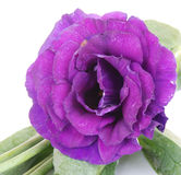 Purple desert rose flower on white Stock Photo