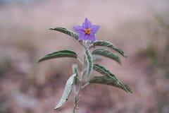 Purple desert Solanum. Purple Solanum grows in the texas desert in the summer stock photography