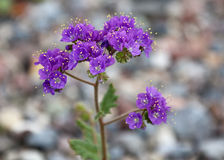 Purple Desert Wildflowers Scorpion Weed Notchleaf Phacelia Phacelia crenulata. Beautiful purple desert wildflowers in Death Valley, California.  These are Royalty Free Stock Photos