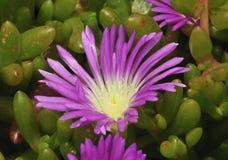 Purple Dewplant Royalty Free Stock Photography
