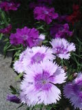 Purple dianthus flowers. Purple dianthus in flower bed Stock Photo