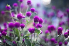 Purple die in middag voelen stock foto's