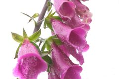 Purple digitalis after the rain Royalty Free Stock Image