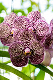 Purple dot orchid Royalty Free Stock Photography